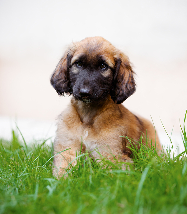 5 important facts about Afador dog breed - Dogs Breed Usa