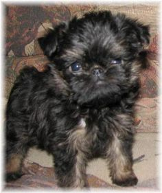 Affenpoo-Puppy-Pictures