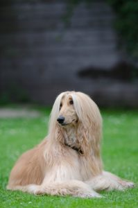 Afghan Hound Dog Breed Pictures and Information - Dogs Breed Usa
