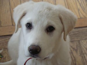 Akbash-Puppy-Images
