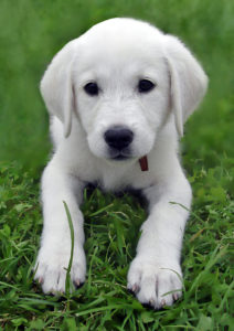 Akbash-Puppy-Pictures