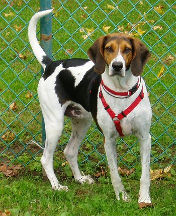 American-Foxhound-Pictures