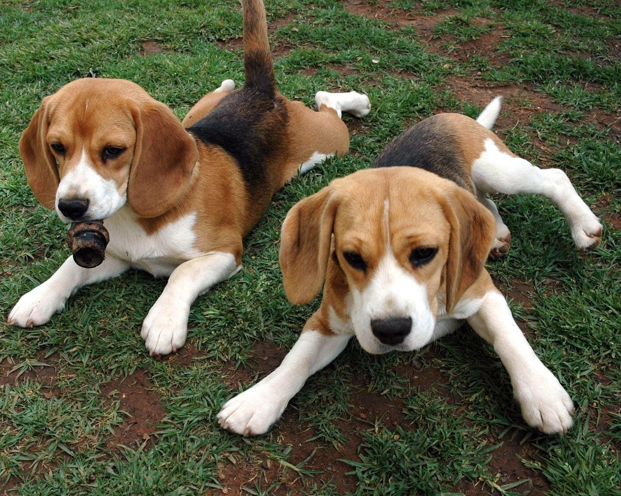 American-Foxhound-Puppies