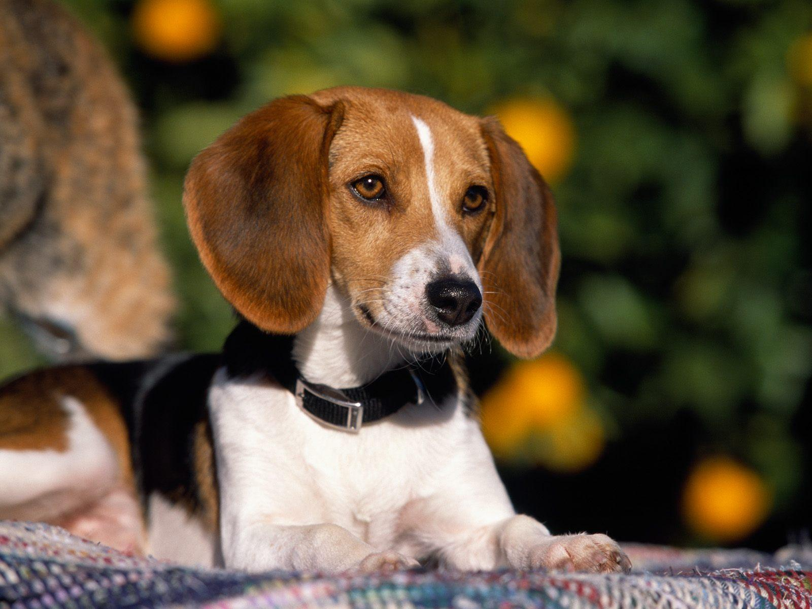 American-Foxhound-Puppy-Pictures