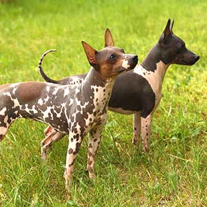 American-Hairless-Terrier-Images
