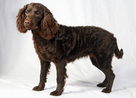 American-Water-Spaniel-Images