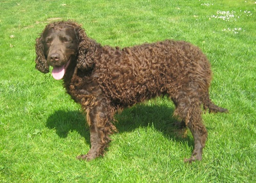 American-Water-Spaniel-Pictures