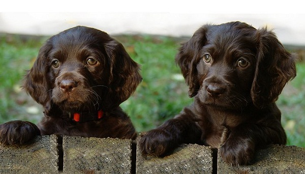 American-Water-Spaniel-Puppies