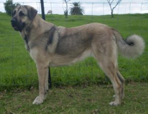 Anatolian-Shepherd-Dog-Pictures