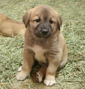 Anatolian-Shepherd-Dog-Puppy
