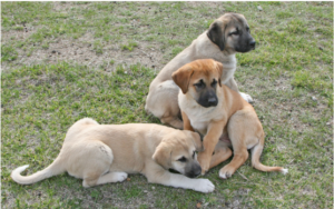 Anatolian-Shepherd-Puppies