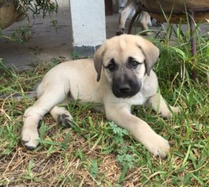 Anatolian-Shepherd-Puppy-Pictures