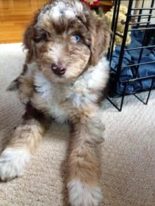 Aussiedoodle-Images
