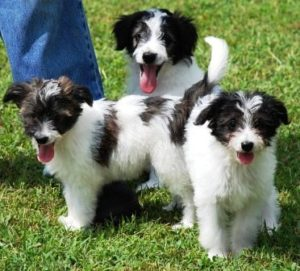 Aussiedoodle-Puppies-Images