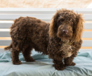 Basset-Hound-Poodle-Mix-Pictures