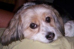 Beagle-Lhasa-Apso-Mix-Dog