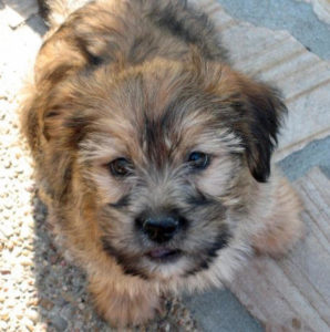 Beagle-Lhasa-Apso-Mix-Puppy