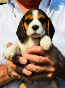Beagleman-Puppy-Pictures