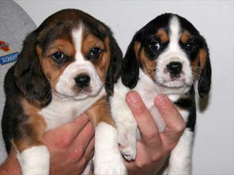 Beaglier-Puppies-Pictures