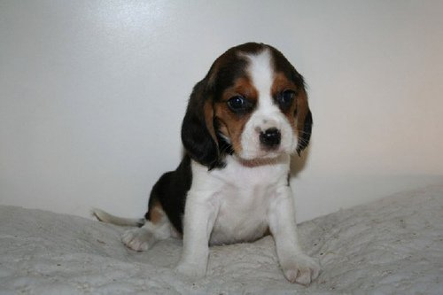 Beaglier-Puppy-Images