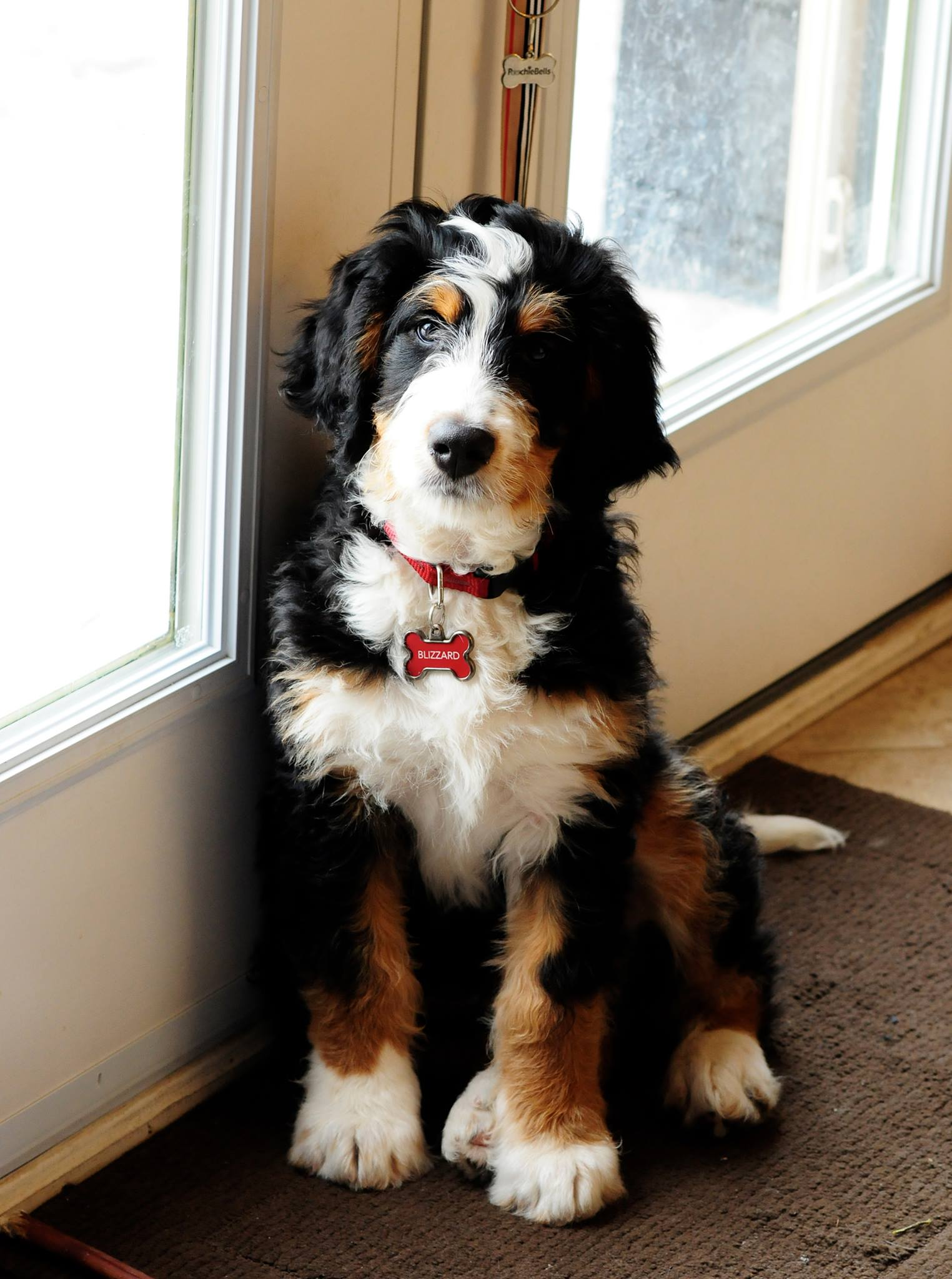 Bernedoodle-Dogs