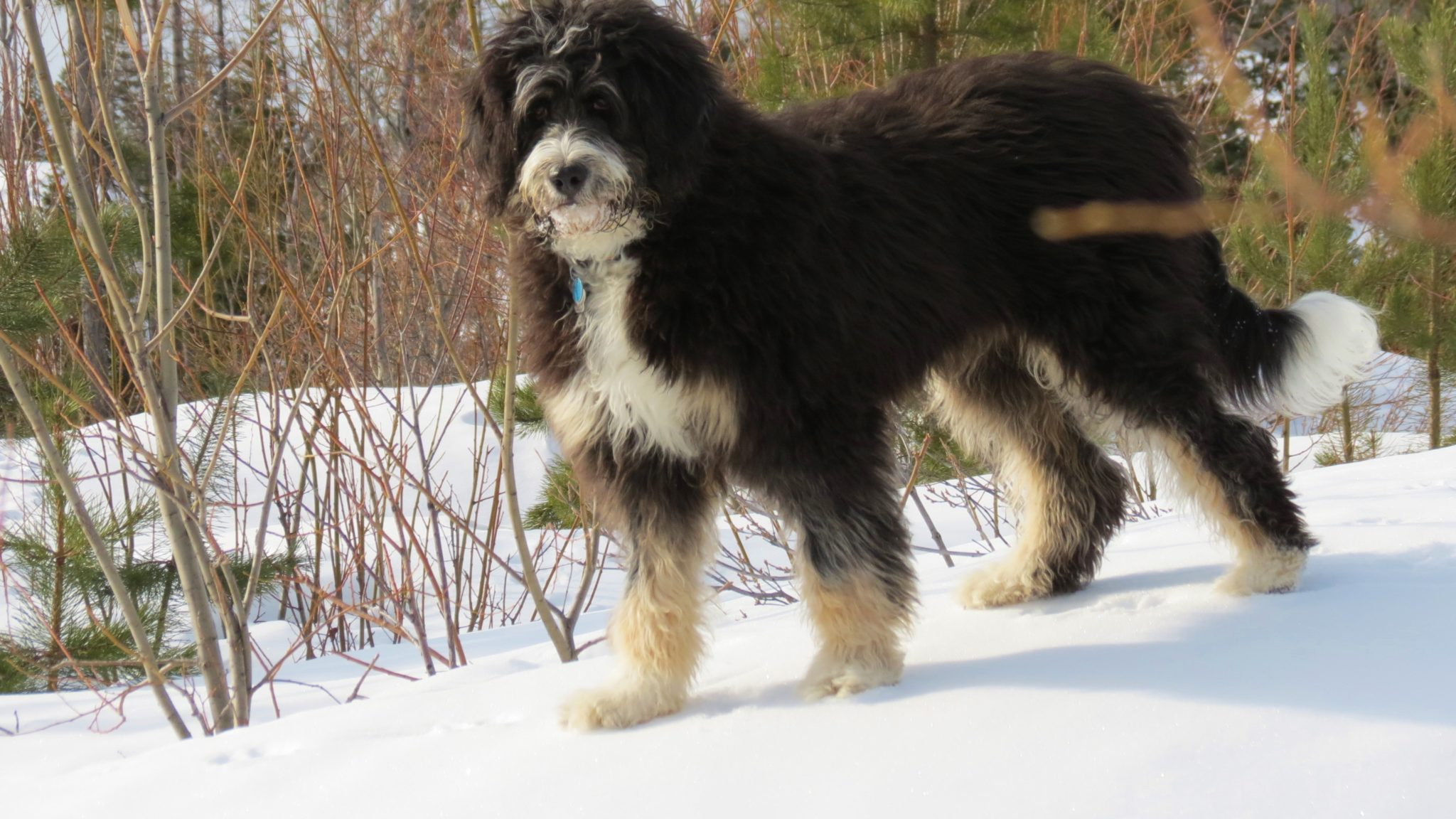 Bernedoodle-Full-Grown