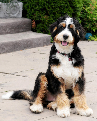 Bernedoodle Dog Breed Information And Pictures Dogs Breed Usa