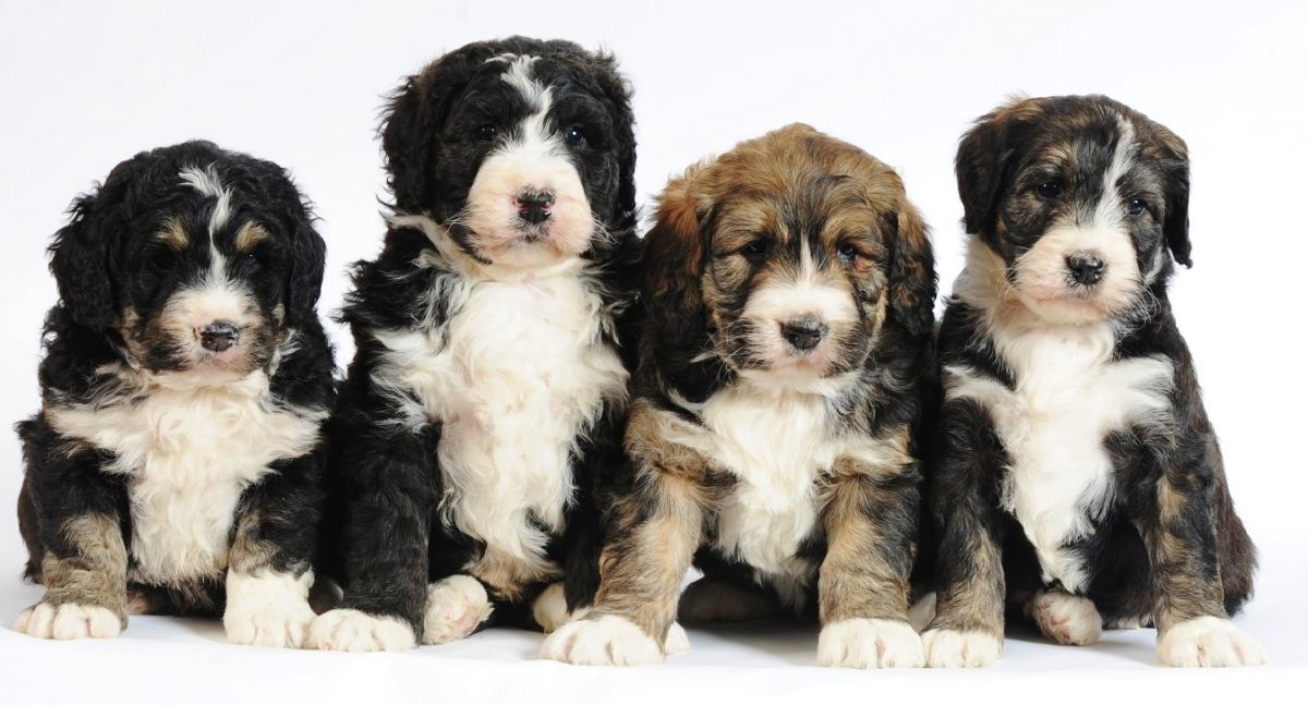 Bernedoodle-Puppies