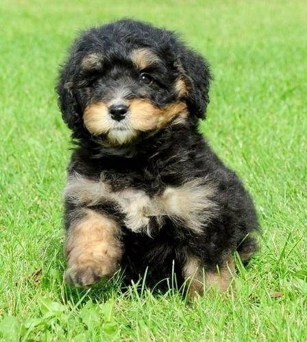 Bernedoodle-Puppy-Pictures