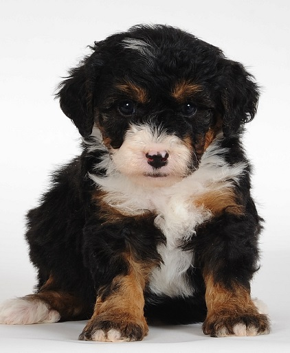 Bernedoodle-Puppy