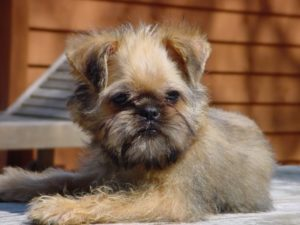 Broodle-Griffon-Puppy-Pictures