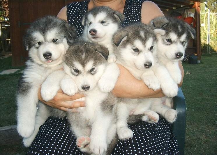 Husky-Malamute-Puppy-Pictures