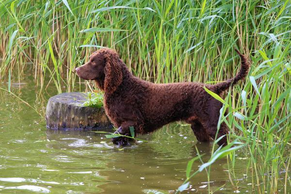 Images-of-American-Water-Spaniel