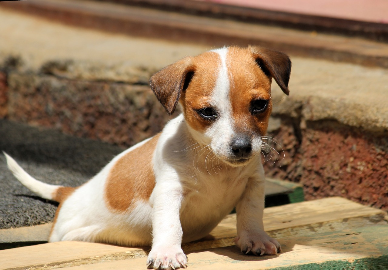 jack russell collie mix