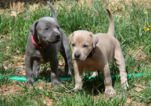 Blue-Lacy-Puppies