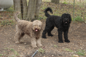Barbet-Dogs
