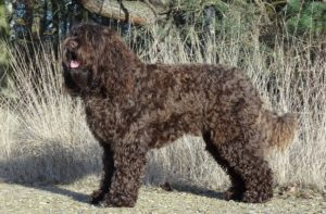 Barbet-French-Water-Dog