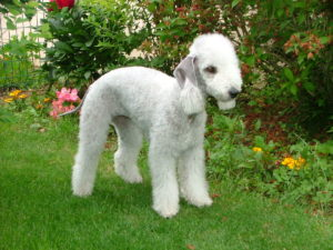 Bedlington-Terrier