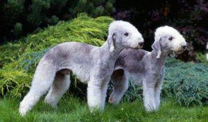 Bedlington-Terriers