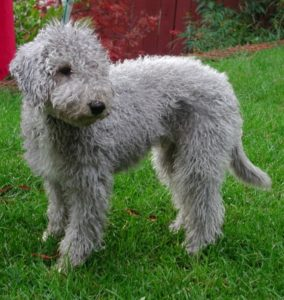 Gray-Bedlington-Terrier