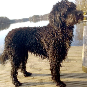 Pictures-of-Barbet-Dog