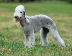 The-Bedlington-Terrier