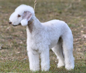 White-Bedlington-Terrier