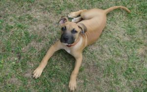 American-Black-Mouth-Cur
