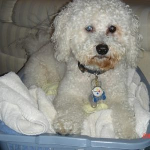 Bichon-Poo-Full-Grown