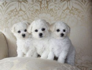 Bichon-Poo-Puppies