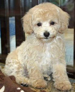 Bichon-Poo-Puppy-Photos
