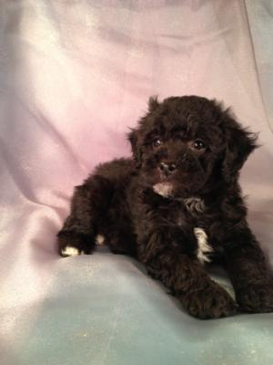 Black-Bichon-Poo-Puppy
