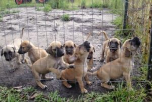 Black-Mouth-Cur-Puppies