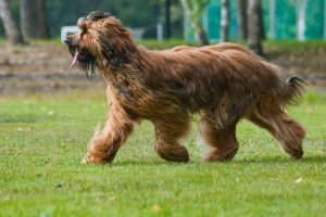 Briard-Dog-Pictures
